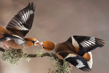 Hawfinch (Coccothraustes Coccothraustes) With Spread Wings Pass Each Other Food