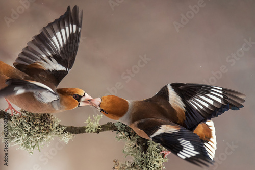 Photo Hawfinch (Coccothraustes coccothraustes) with spread wings pass each other food