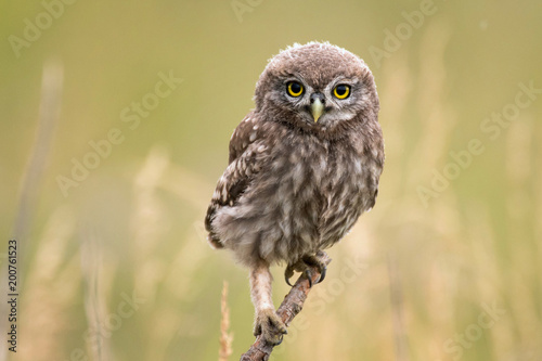 Spoed Fotobehang Uil A young little owl (Athene noctua) sitting on a branch looking at the camera