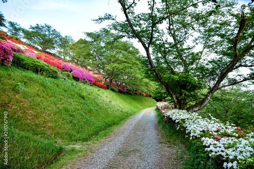Deurstickers Azalea 日輪寺のツツジ花 山鹿市 Azalea Flower nitirinnji park
