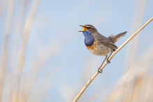 Bluethroat In Natural Environment