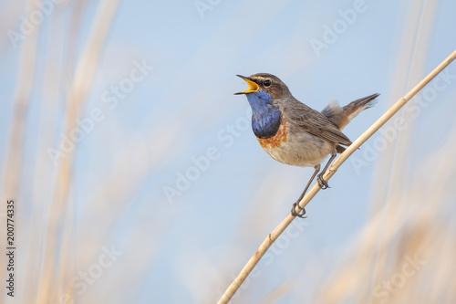 Stampa su Tela Bluethroat in natural environment
