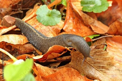 Schwarzer Schnegel (Limax cinereoniger)