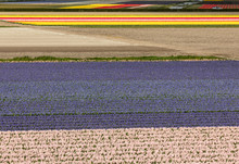 Tulip And Hyacinth  Fields Of ...