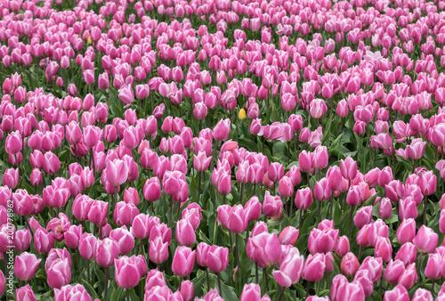 Spoed Fotobehang Roze Pink Tulips fields of the Bollenstreek, South Holland, Netherlands