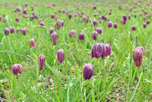 Snakes Head Fritillary Flowers...