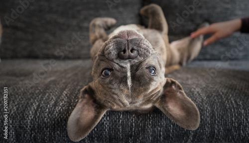 Staande foto Franse bulldog Cute French bulldog looking at camera. Lazy dog at home.