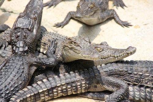 Foto op Plexiglas Krokodil Crocrodile farm