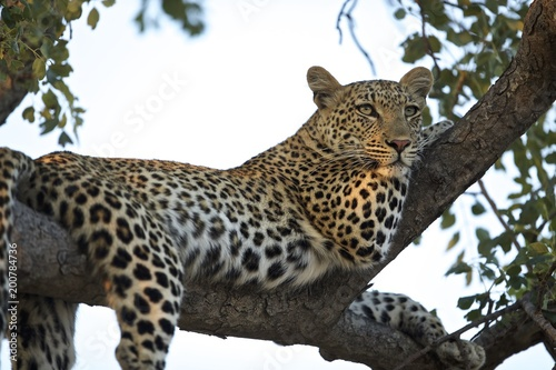 Tuinposter Luipaard Leopard lounging in tree