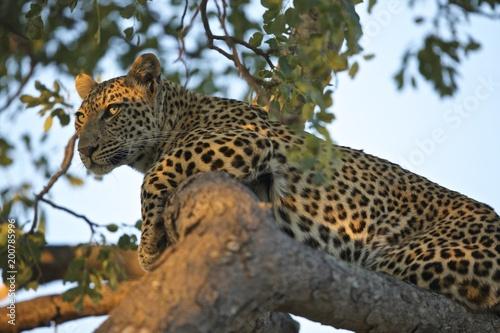 Deurstickers Luipaard Leopard with nice light on eyes in tree