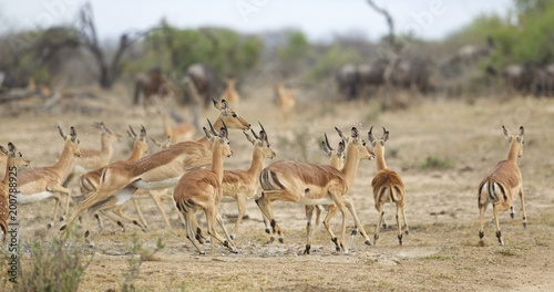Foto op Canvas Antilope Panic at the waterhole