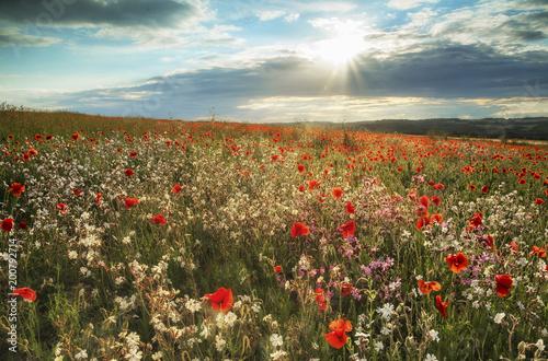 Fototapeta Beautiful poppy field landscape in Summer sunset light on South Downs England obraz na płótnie