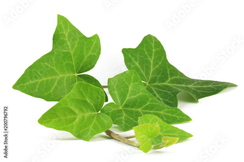 Common ivy (Hedera helix) plant isolated on white. Canvas-taulu