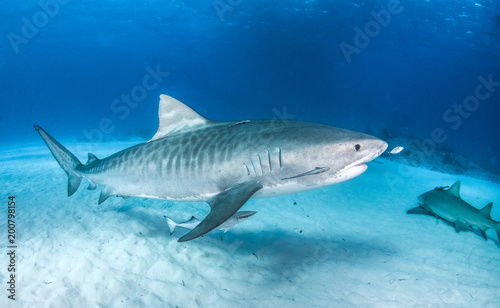 Tiger Shark at Tigerbeach, Bahamas
