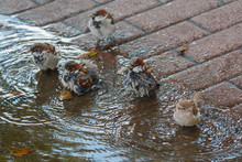 Sparrows Bathe In A Puddle In The Heat. Birds