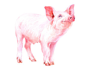 Watercolor animal pig baby isolated on white background