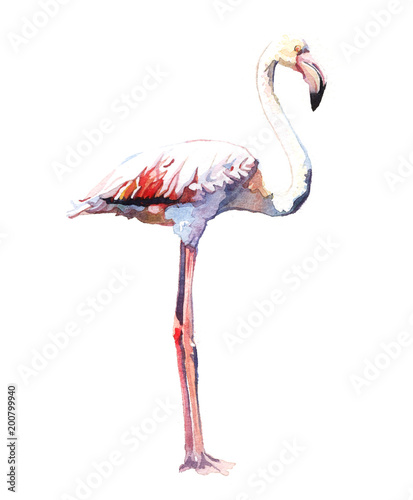 Foto op Aluminium Flamingo Watercolor animal bird flamingo isolated on white background