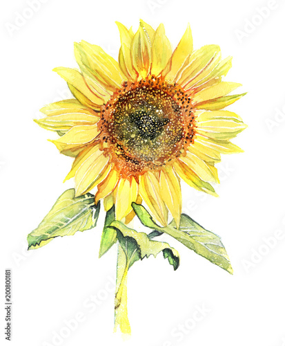 kwiat-akwarela-slonecznika-na-bialym-tle-na-tyl-bialy