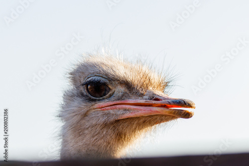 Fotobehang Struisvogel beautiful ostrich walks on the sky background