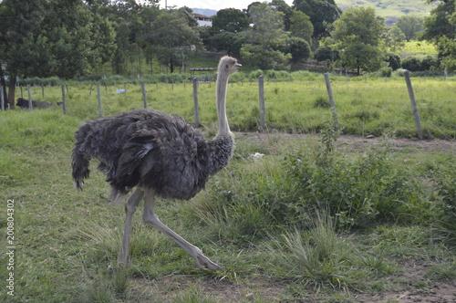 Stickers pour porte Autruche avestruz doceo
