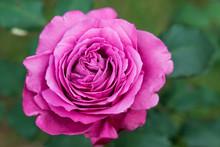 Macro Photo Of Flowers, Pink R...