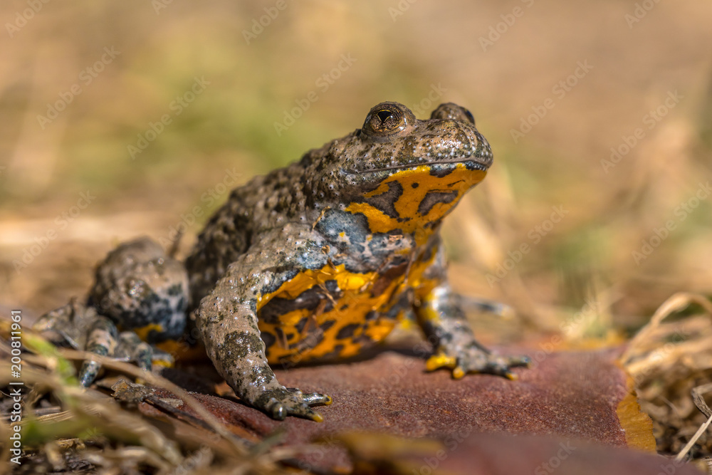 Yellow bellied toad