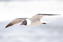 Laughing Gull Flying