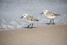 Sanderlings At The Shore