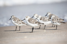 Sanderlings At The Shore