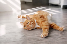 Red Cat Lying On The Floor And Basking In The Sun.
