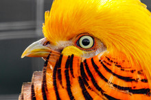 Beautiful Yellow Golden Pheasant
