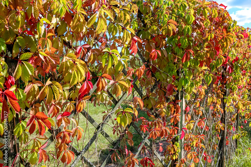 Foto Virginia creeper or Parthenocissus quinquefolia leaves