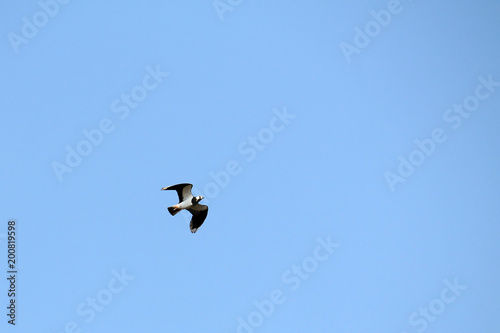 Foto op Canvas Luchtsport Flying northern lapwing (Vanellus vanellus) against clear blue sky
