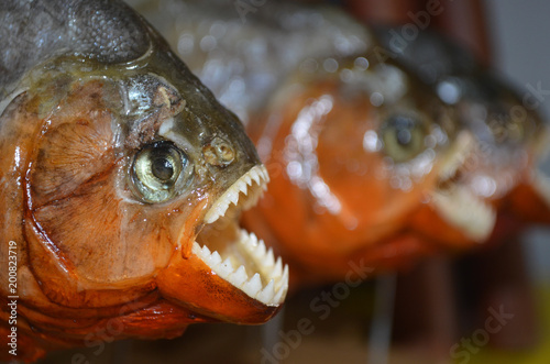 Photo  Red-bellied Piranhas on sale at a tourist market in Iquitos, in the Peruvian Ama