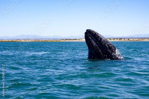 A California gray whale breaches in the UNESCO-listed El Vizcaino whale sanctuar Wallpaper Mural