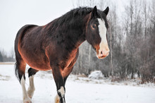 Winter Overcast Brings Out The Beautiful Color Of The Clydesdale Horse On The Farm