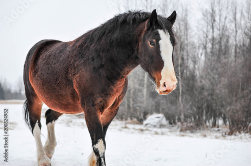 Valokuvatapetti Winter Overcast brings out the Beautiful Color of the Clydesdale Horse on the Fa