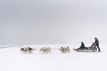 Team Of Sled Dogs In A Blizzard