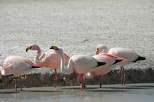 Flamingos On Laguna Hedionda, In The Reserva Nacional Eduardo Avaroa, Bolivia.