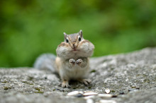 Chipmunk With Cheeks Full Of N...
