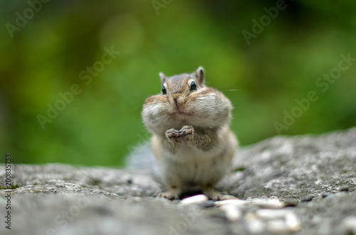 Obraz na plátne Chipmunk with cheeks full of nuts and seeds 6