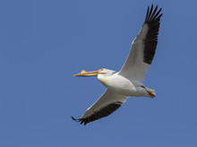 American White Pelican (Pelecanus Erythrorhynchos) In Breeding Plumage Flying, Saylorville, Iowa, USA