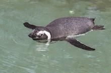 Humbolt Penguin Swimming