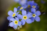 Fototapeta Kwiaty - NIezapominajka alpejska. Myosotis Myosotis alpestris