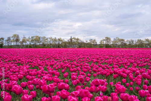 Fotobehang Roze Colourful tulip fields, Netherlands