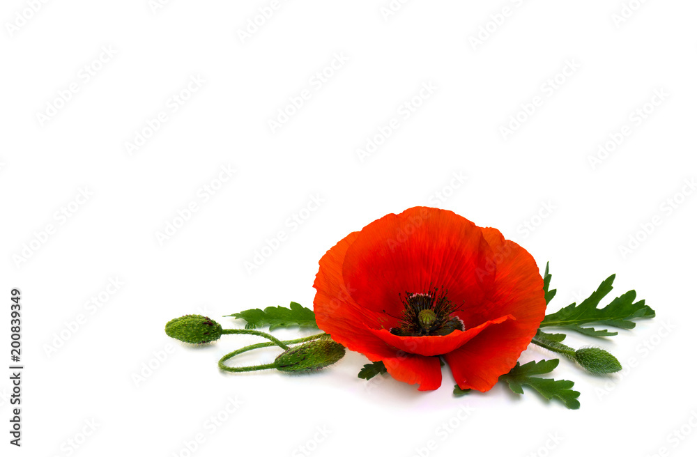 Flower red poppies and buds (Papaver rhoeas, common names: corn poppy, corn rose, field poppy, red weed) on a white background with space for text.
