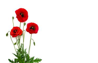 Cvijeće crveni mak (Papaver rhoeas, uobičajeni nazivi: kukuruzni mak, kukuruzni ruž, poljski mak, crveni korov) na bijeloj podlozi s prostorom za tekst. Pogled odozgo, ravno položen.