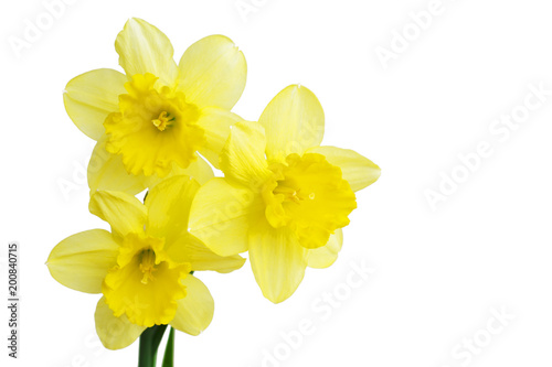 Narcissus Daffodil flower or narcissus bouquet isolated on white background cutout