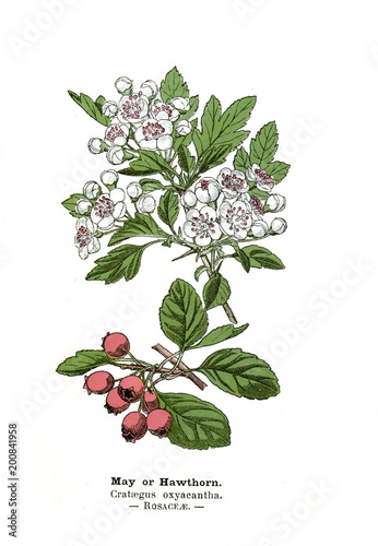 Photo Botanical illustration.