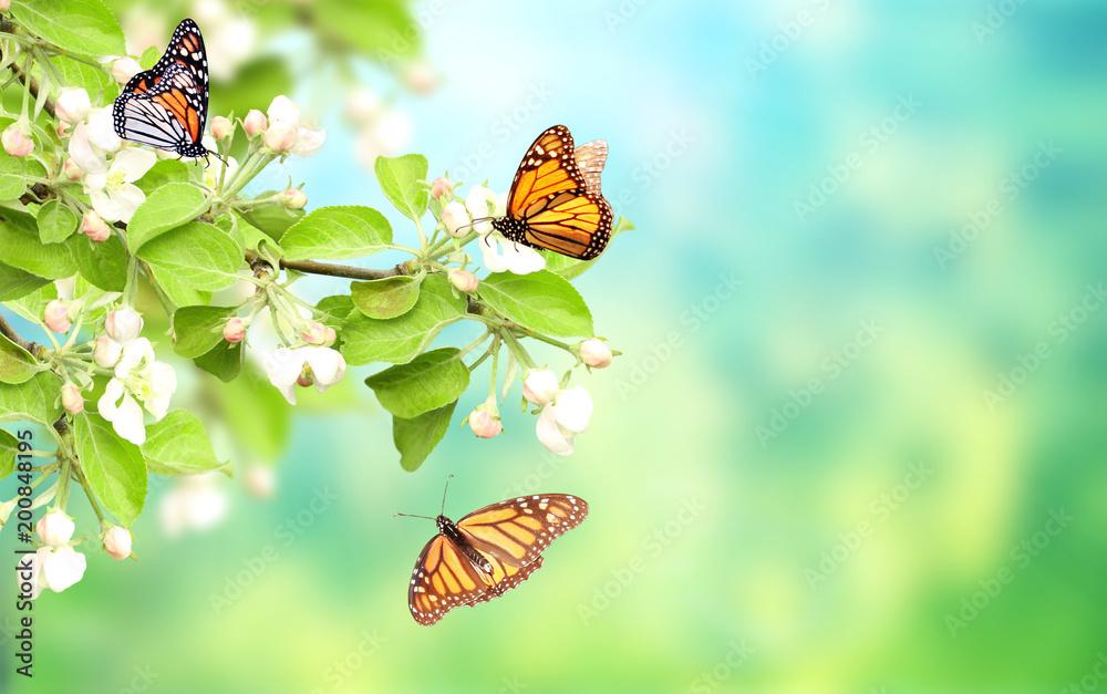 Motyle na kwiatach jabłoni <span>plik: #200848195 | autor: frenta</span>